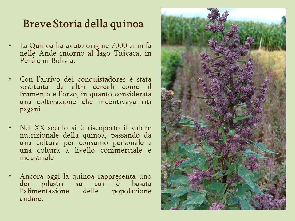 Breve Storia della quinoa