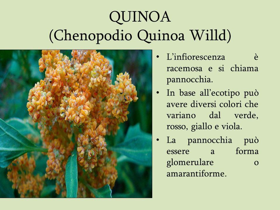 QUINOA (Chenopodio Quinoa Willd)