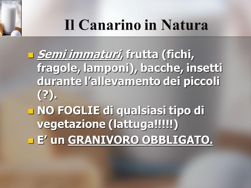 Il Canarino in Natura Semi immaturi, frutta (fichi, fragole, lamponi), bacche, insetti durante l'allevamento dei piccoli ( ).