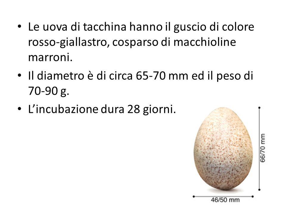 Le uova di tacchina hanno il guscio di colore rosso-giallastro, cosparso di macchioline marroni.