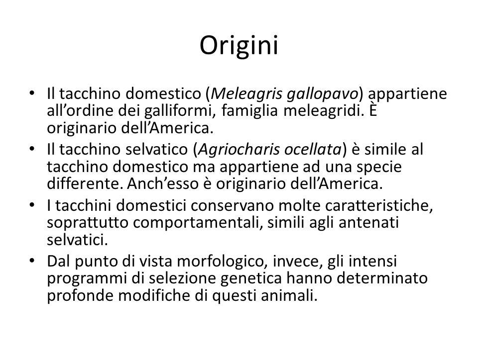 Origini Il tacchino domestico (Meleagris gallopavo) appartiene all'ordine dei galliformi, famiglia meleagridi. È originario dell'America.