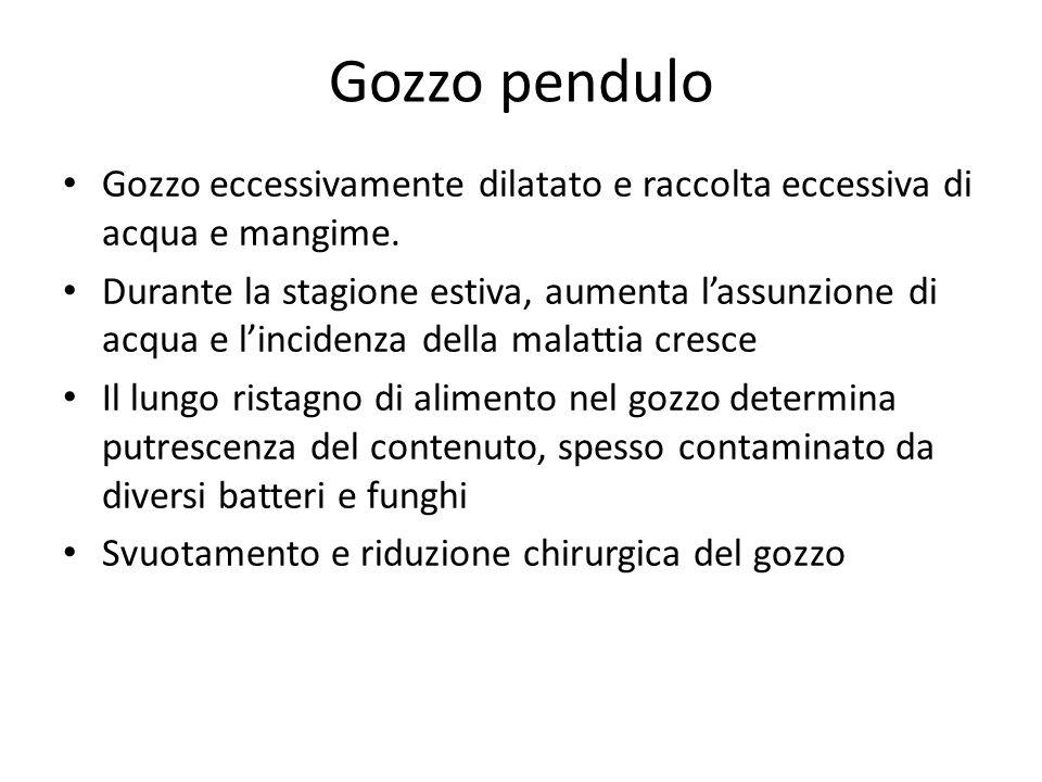 Gozzo pendulo Gozzo eccessivamente dilatato e raccolta eccessiva di acqua e mangime.