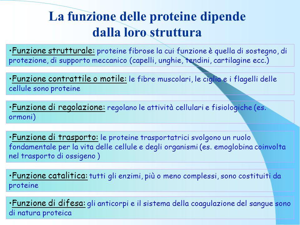 La funzione delle proteine dipende dalla loro struttura