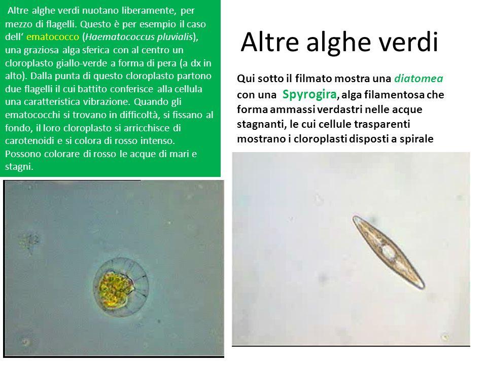 Altre alghe verdi ematococco