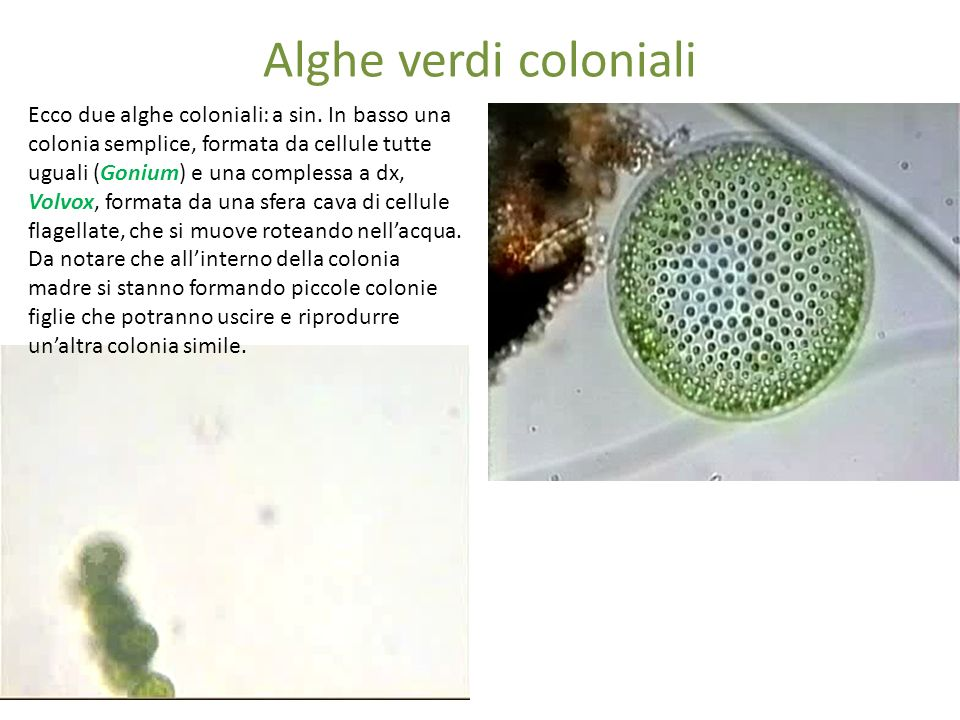 Alghe verdi coloniali