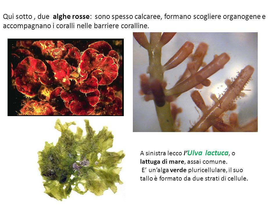 Qui sotto , due alghe rosse: sono spesso calcaree, formano scogliere organogene e accompagnano i coralli nelle barriere coralline.
