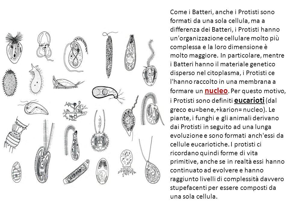 Come i Batteri, anche i Protisti sono formati da una sola cellula, ma a differenza dei Batteri, i Protisti hanno un organizzazione cellulare molto più complessa e la loro dimensione è molto maggiore.