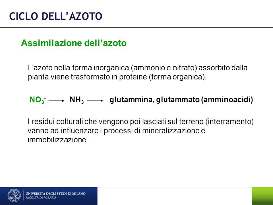 CICLO DELL'AZOTO Assimilazione dell'azoto
