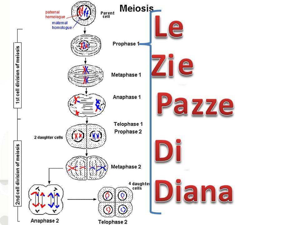 Leptotene Zigotene e Pachitene zze RISPOSTA B Diplotene Diacinesi na