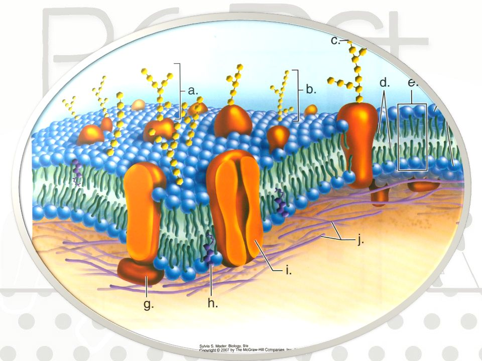 Come è fatta la membrana