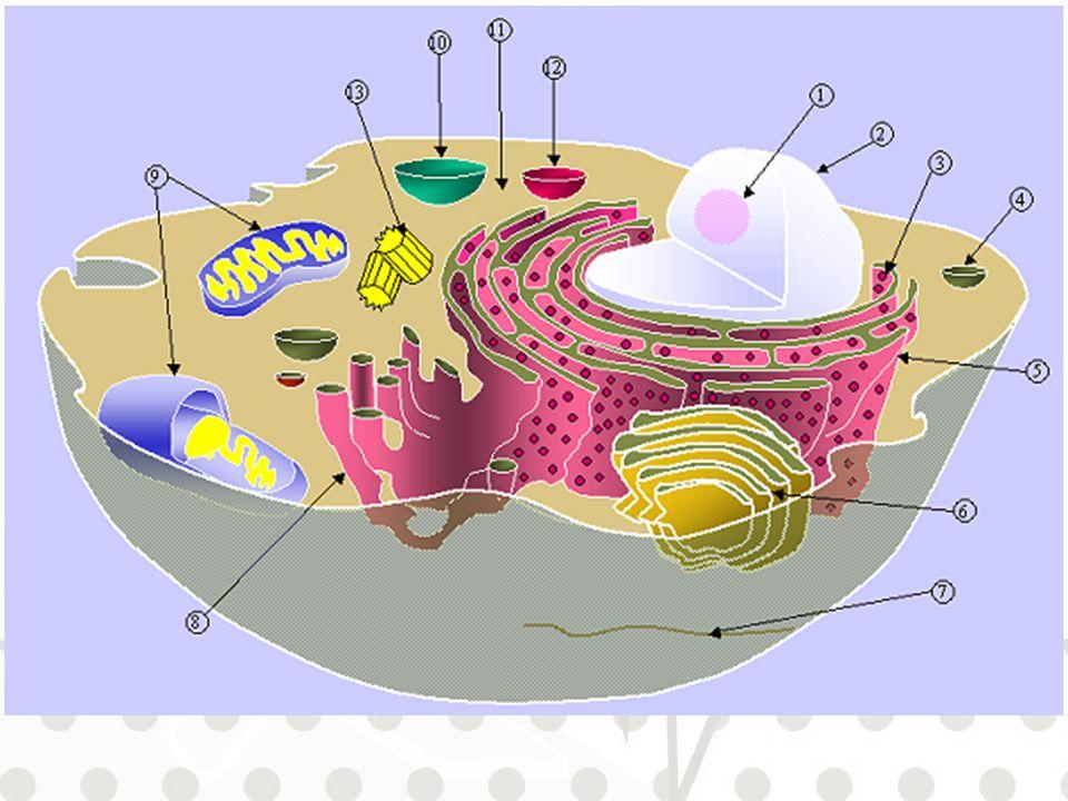Quali sono gli organuli