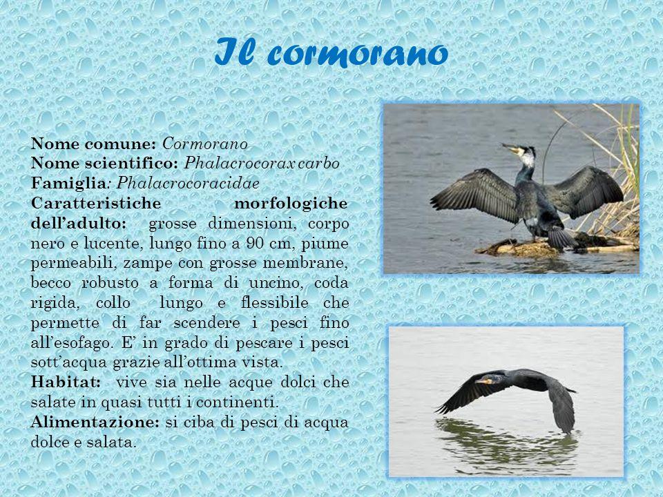 Il cormorano Nome comune: Cormorano