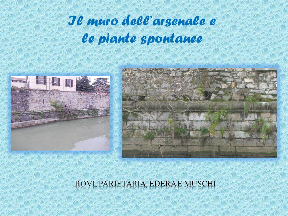 Il muro dell'arsenale e le piante spontanee