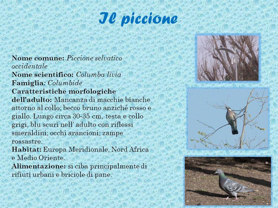 Il piccione Nome comune: Piccione selvatico occidentale