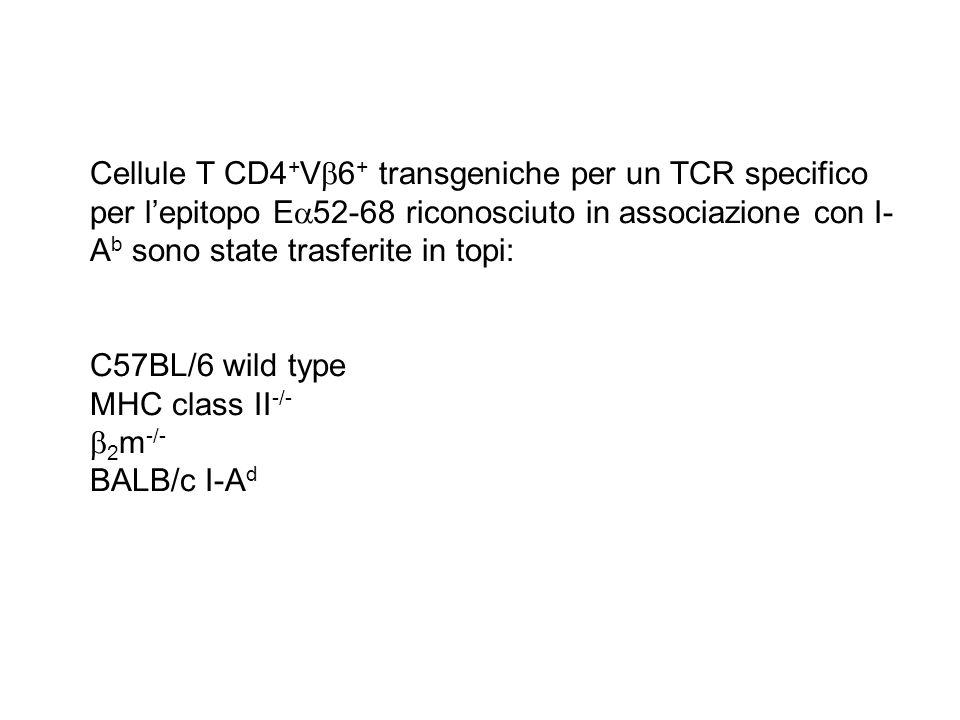 Cellule T CD4+V6+ transgeniche per un TCR specifico per l'epitopo E52-68 riconosciuto in associazione con I-Ab sono state trasferite in topi: