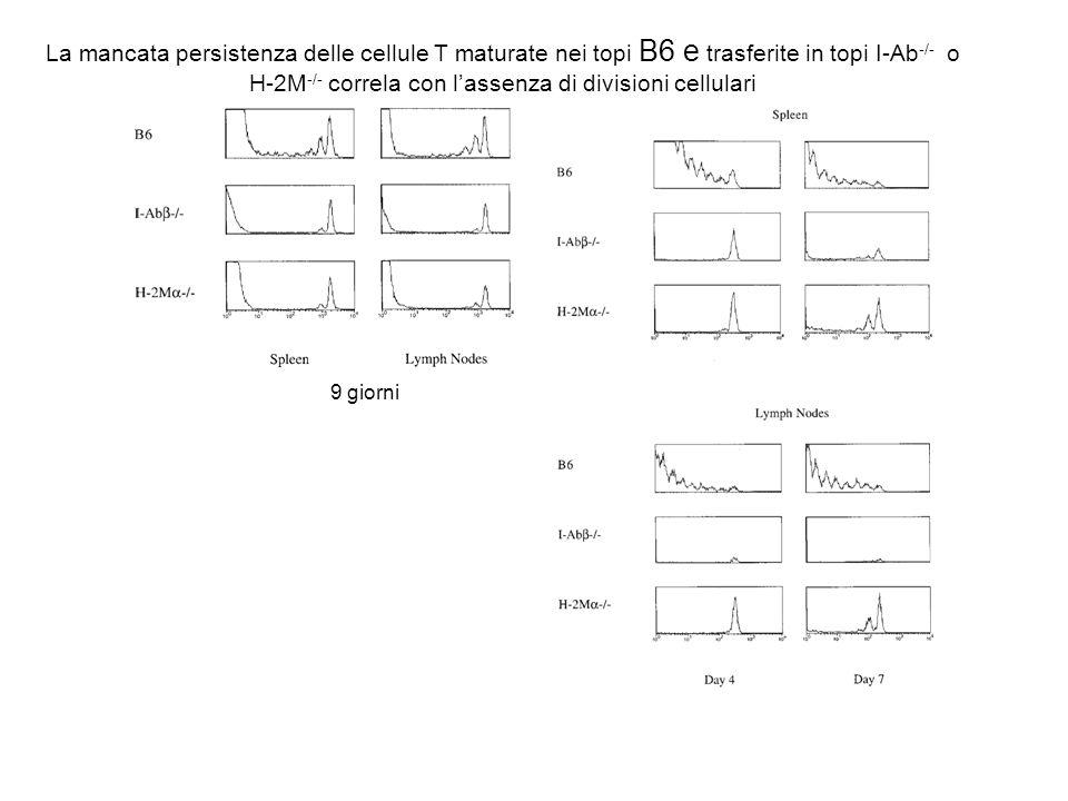 La mancata persistenza delle cellule T maturate nei topi B6 e trasferite in topi I-Ab-/- o H-2M-/- correla con l'assenza di divisioni cellulari