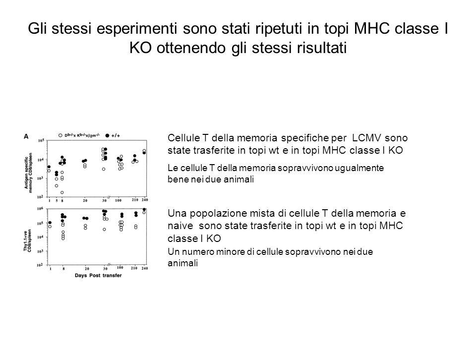 Gli stessi esperimenti sono stati ripetuti in topi MHC classe I KO ottenendo gli stessi risultati