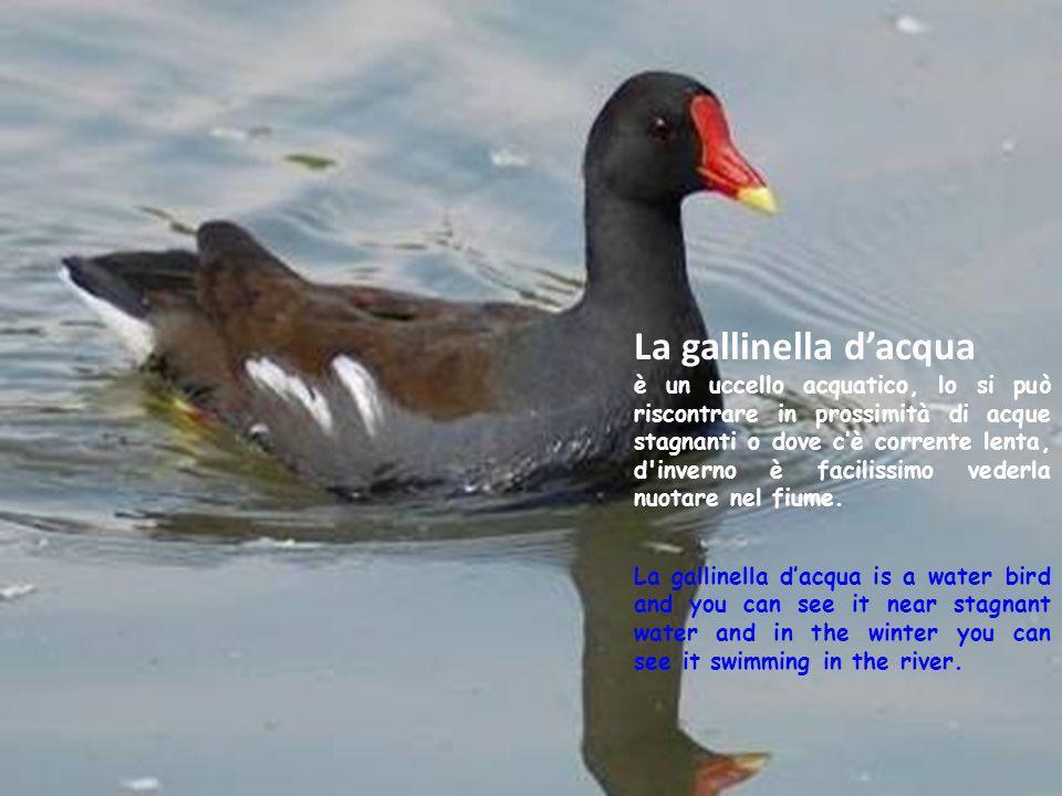 La gallinella d'acqua