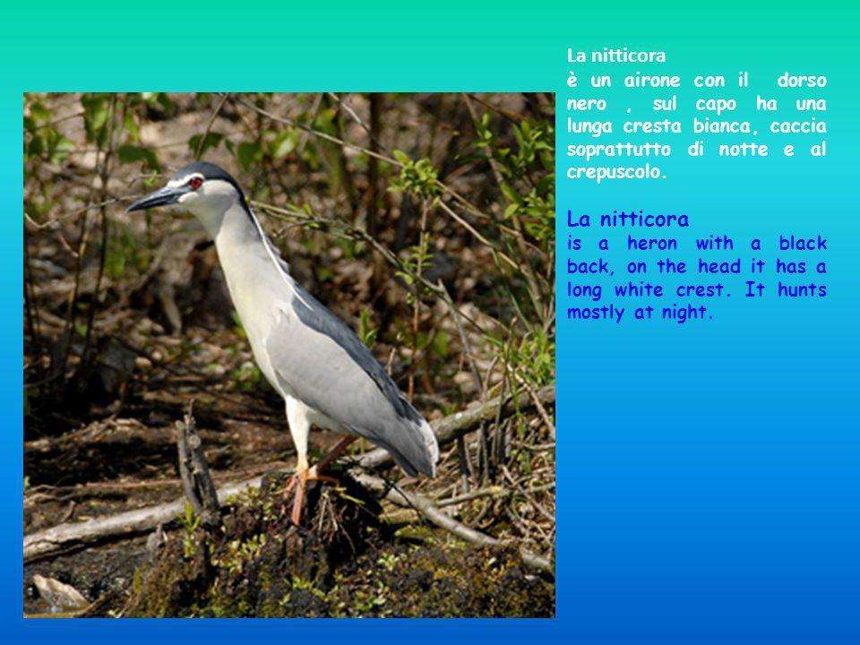 La nitticora è un airone con il dorso nero , sul capo ha una lunga cresta bianca, caccia soprattutto di notte e al crepuscolo.