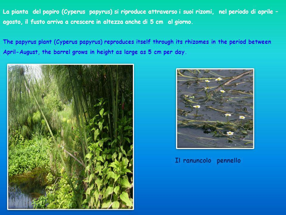 La pianta del papiro (Cyperus papyrus) si riproduce attraverso i suoi rizomi, nel periodo di aprile – agosto, il fusto arriva a crescere in altezza anche di 5 cm al giorno. The papyrus plant (Cyperus papyrus) reproduces itself through its rhizomes in the period between April-August, the barrel grows in height as large as 5 cm per day.