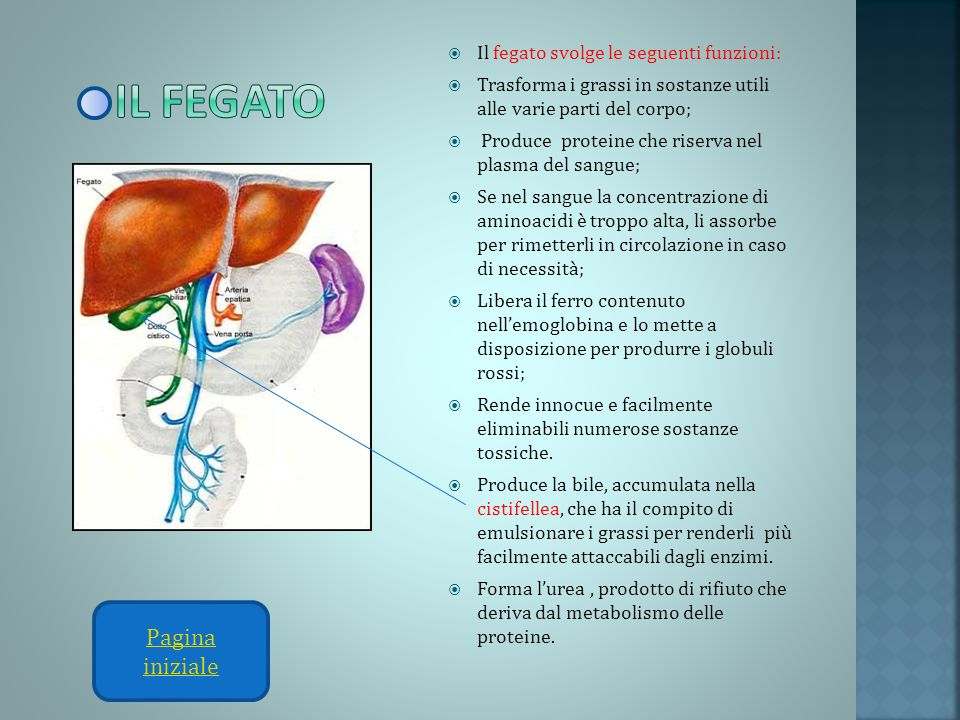 Il fegato Pagina iniziale Il fegato svolge le seguenti funzioni: