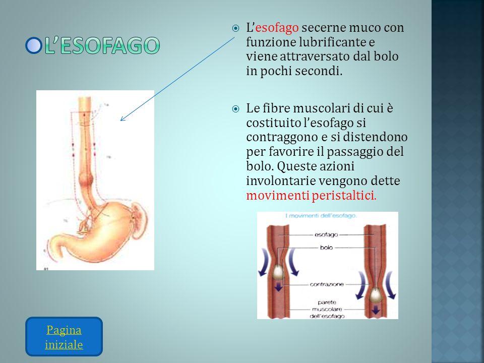 l'esofago L'esofago secerne muco con funzione lubrificante e viene attraversato dal bolo in pochi secondi.
