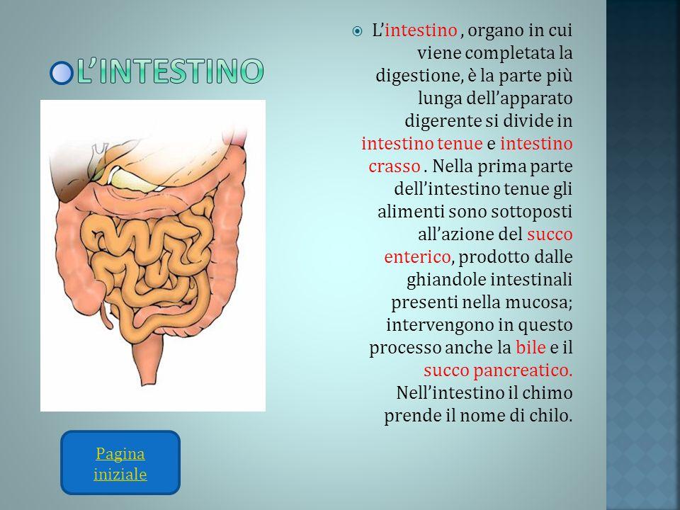 L'intestino , organo in cui viene completata la digestione, è la parte più lunga dell'apparato digerente si divide in intestino tenue e intestino crasso . Nella prima parte dell'intestino tenue gli alimenti sono sottoposti all'azione del succo enterico, prodotto dalle ghiandole intestinali presenti nella mucosa; intervengono in questo processo anche la bile e il succo pancreatico. Nell'intestino il chimo prende il nome di chilo.