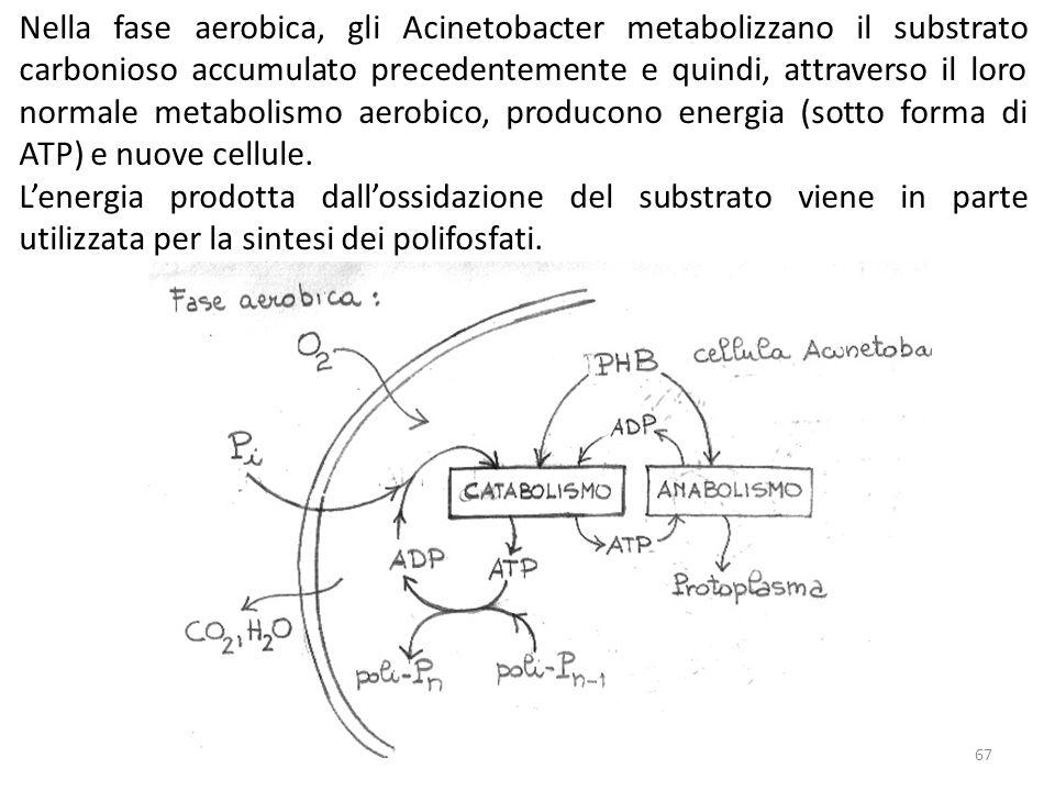 Nella fase aerobica, gli Acinetobacter metabolizzano il substrato carbonioso accumulato precedentemente e quindi, attraverso il loro normale metabolismo aerobico, producono energia (sotto forma di ATP) e nuove cellule.