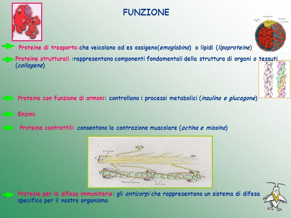 FUNZIONEProteine di trasporto:che veicolano ad es ossigeno(emoglobina) o lipidi (lipoproteine)
