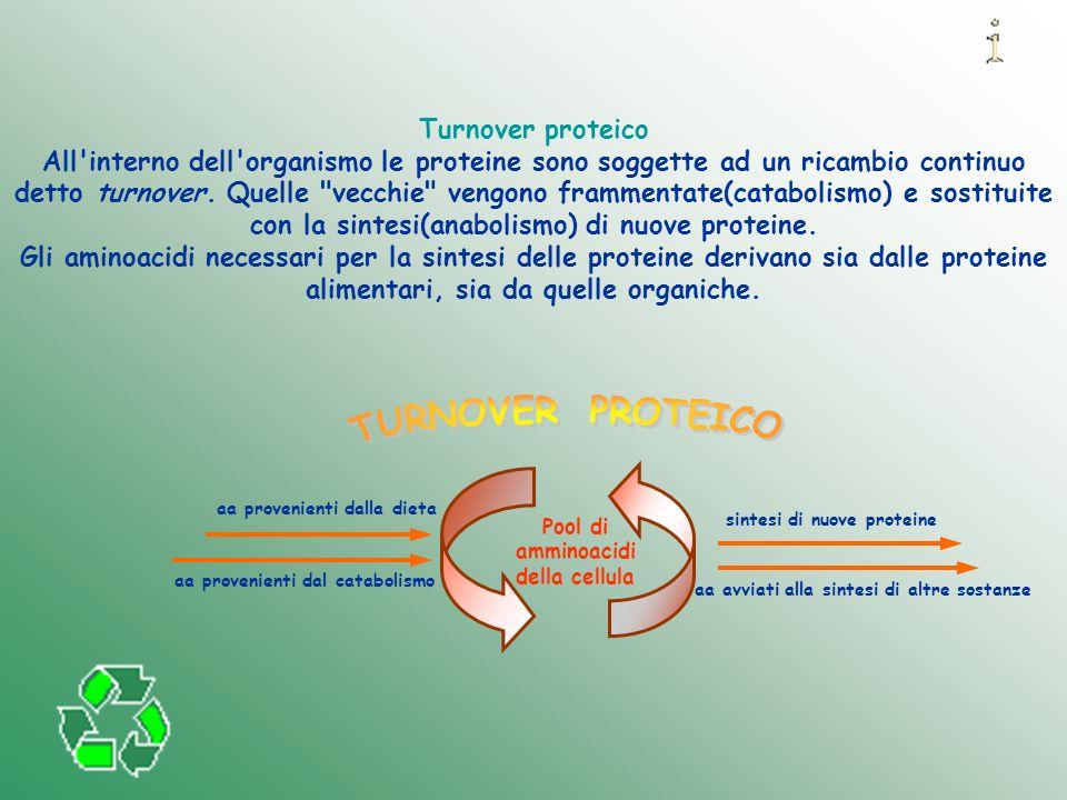 TURNOVER PROTEICO Turnover proteico