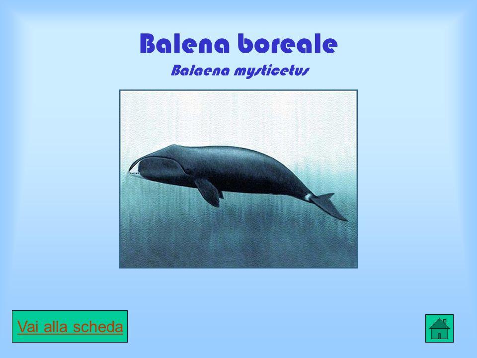 Balena boreale Balaena mysticetus