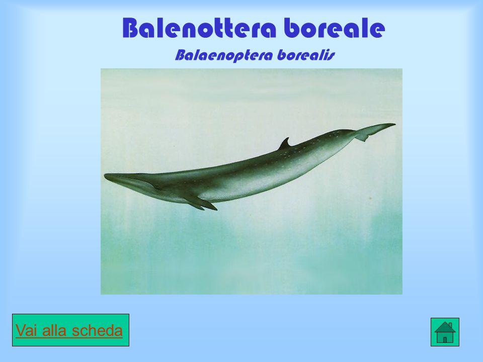 Balenottera boreale Balaenoptera borealis