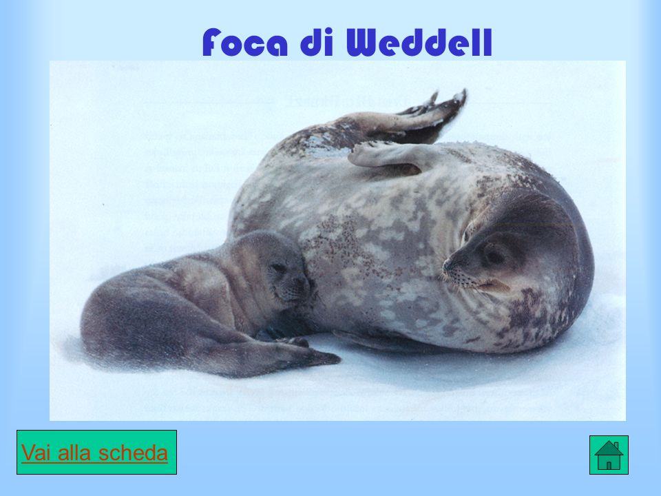 Foca di Weddell
