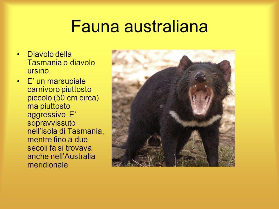 Fauna australiana Diavolo della Tasmania o diavolo ursino.