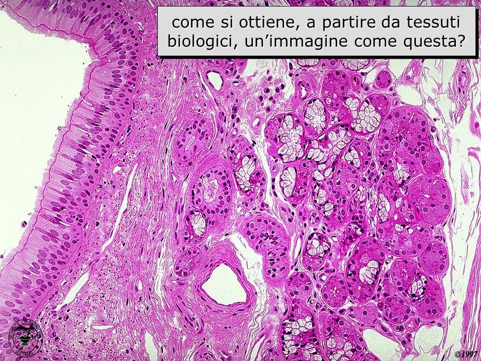 come si ottiene, a partire da tessuti biologici, un'immagine come questa