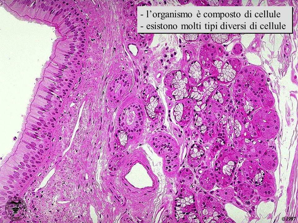 immagine istologica - l'organismo è composto di cellule