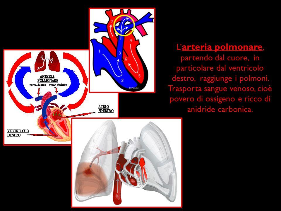 L'arteria polmonare, partendo dal cuore, in particolare dal ventricolo destro, raggiunge i polmoni.