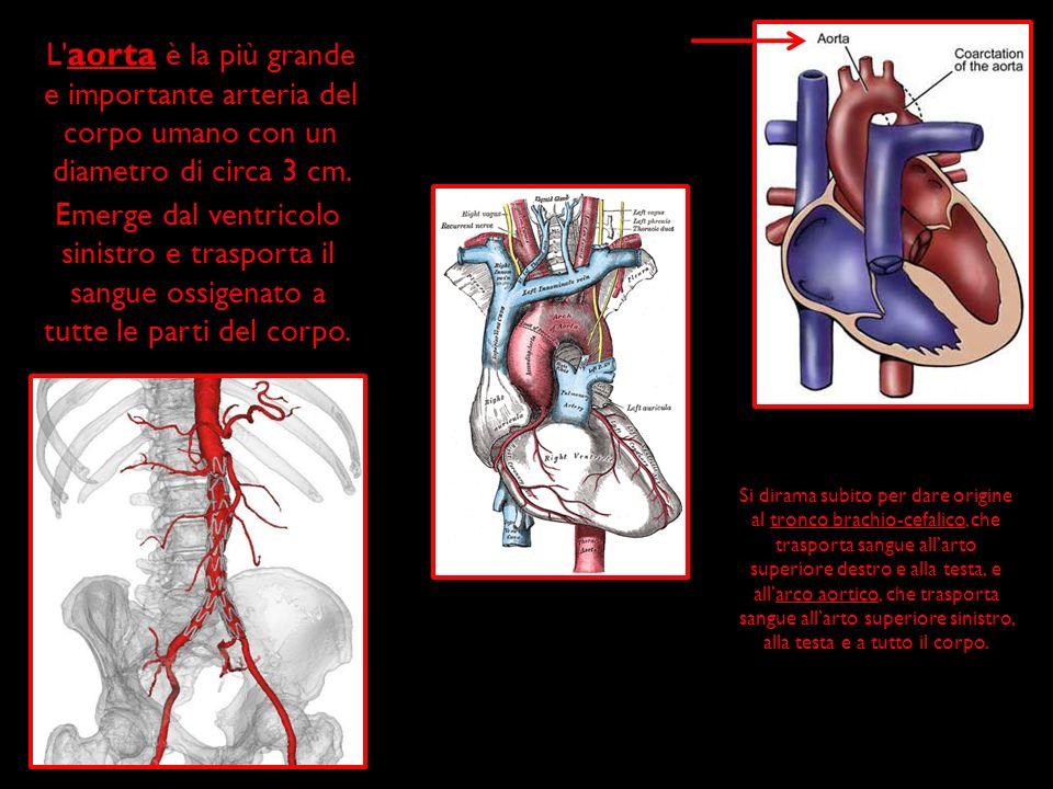 L aorta è la più grande e importante arteria del corpo umano con un diametro di circa 3 cm.
