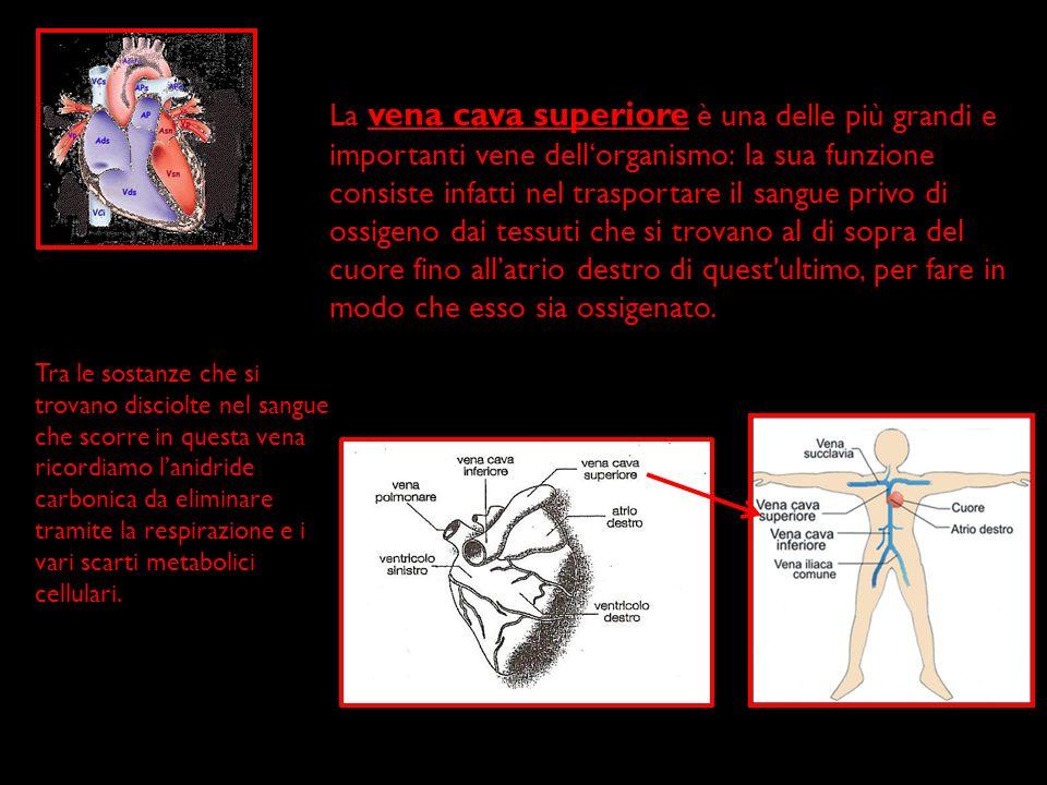 La vena cava superiore è una delle più grandi e importanti vene dell'organismo: la sua funzione consiste infatti nel trasportare il sangue privo di ossigeno dai tessuti che si trovano al di sopra del cuore fino all'atrio destro di quest ultimo, per fare in modo che esso sia ossigenato.