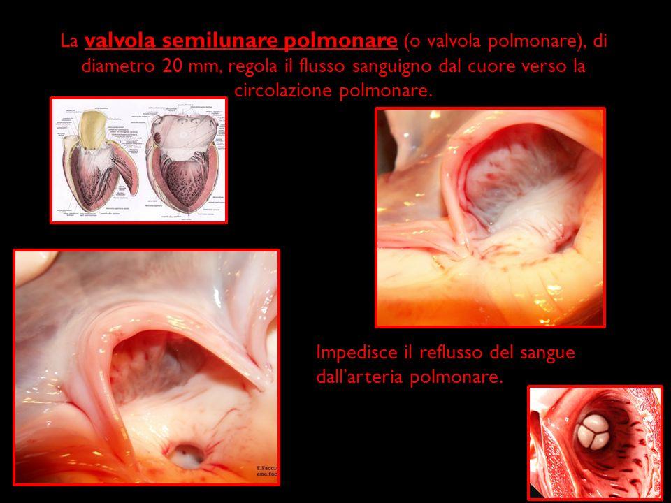 La valvola semilunare polmonare (o valvola polmonare), di diametro 20 mm, regola il flusso sanguigno dal cuore verso la circolazione polmonare.