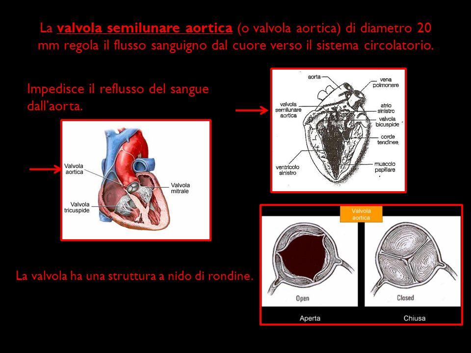 Impedisce il reflusso del sangue dall'aorta.