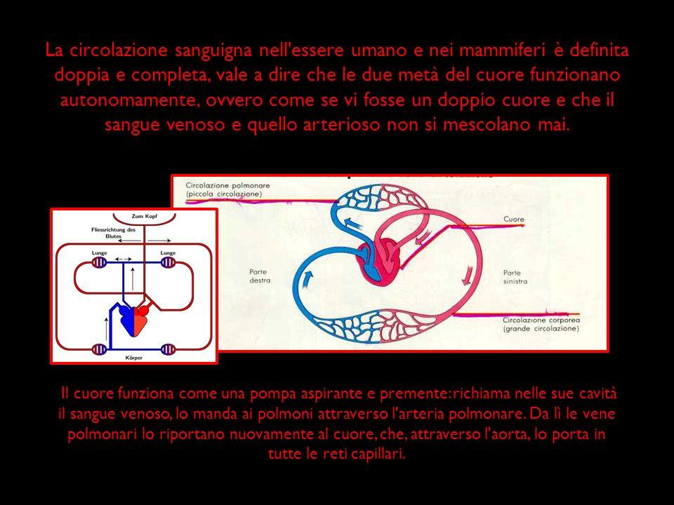 La circolazione sanguigna nell essere umano e nei mammiferi è definita doppia e completa, vale a dire che le due metà del cuore funzionano autonomamente, ovvero come se vi fosse un doppio cuore e che il sangue venoso e quello arterioso non si mescolano mai.