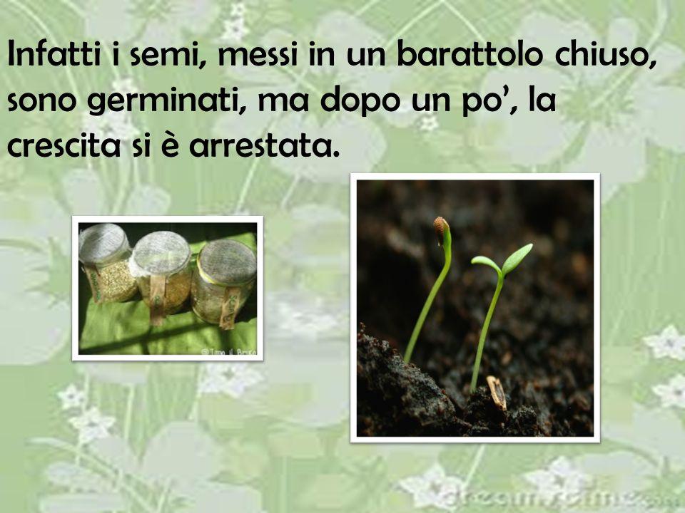 Infatti i semi, messi in un barattolo chiuso, sono germinati, ma dopo un po', la crescita si è arrestata.