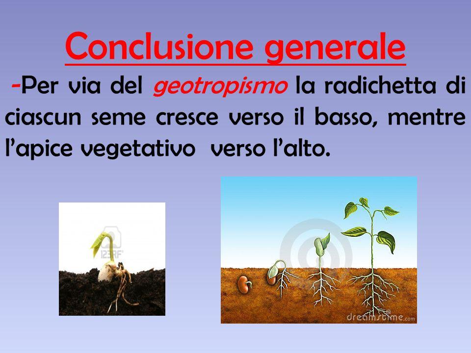 Conclusione generale -Per via del geotropismo la radichetta di ciascun seme cresce verso il basso, mentre l'apice vegetativo verso l'alto.