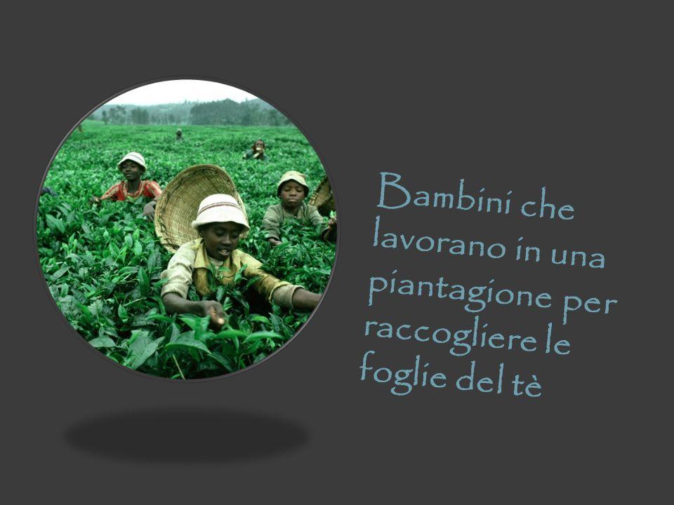 Bambini che lavorano in una piantagione per raccogliere le foglie del tè