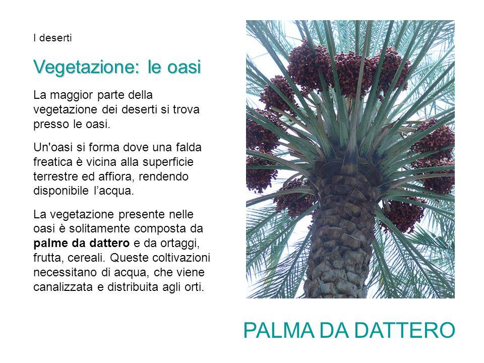 PALMA DA DATTERO Vegetazione: le oasi