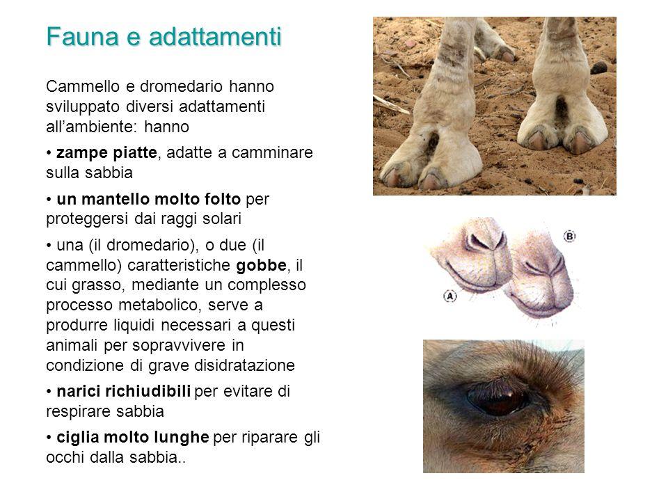 Fauna e adattamenti Cammello e dromedario hanno sviluppato diversi adattamenti all'ambiente: hanno.
