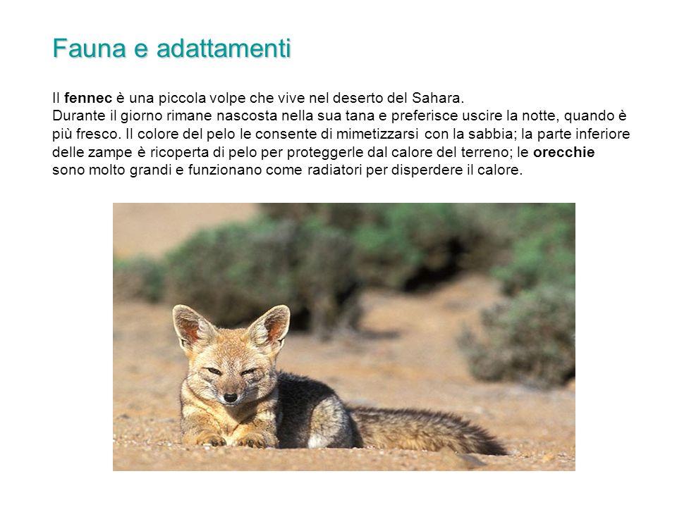 Fauna e adattamenti Il fennec è una piccola volpe che vive nel deserto del Sahara.