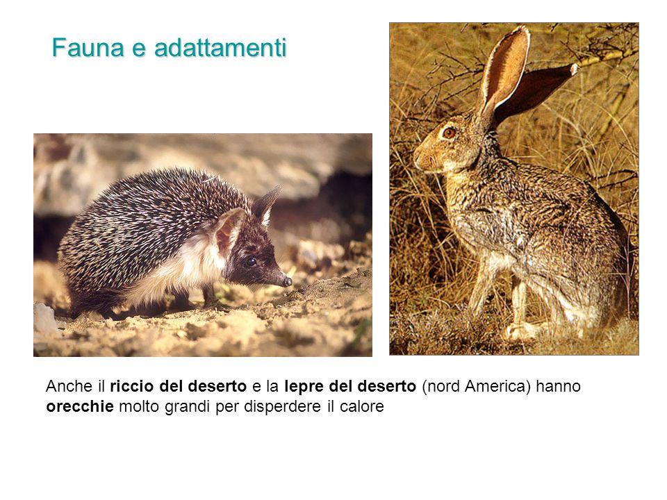 Fauna e adattamenti Anche il riccio del deserto e la lepre del deserto (nord America) hanno orecchie molto grandi per disperdere il calore.