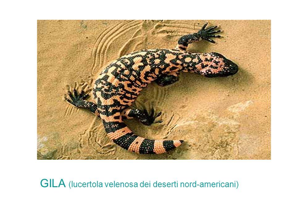 GILA (lucertola velenosa dei deserti nord-americani)